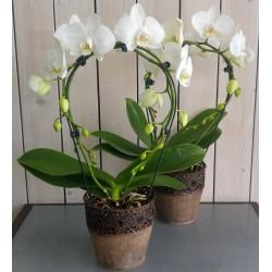Phalaenopsis (simple arceau)